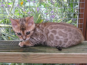 Junglefire brown rosetted Bengal kitten